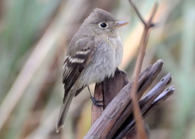 An exceptional first record for Nova Scotia and for Sable Island National Park, Nova Scotia, this Pacific-slope Flycatcher was present 10 Nov through the end of the fall. 10 Nov 2020. Photos © Greg Stroud.