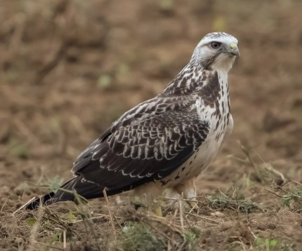 Always exciting to see but increasingly regular in late fall in coastal Alabama, a juvenile Swainson's Hawk was found near Summerdale, Baldwin Co 11 Nov 2020. Photo © Karen Chiasson.