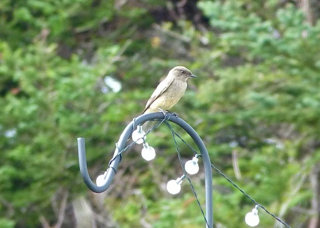 This Say's Phoebe present at Hape's Point, Nova Scotia 23 Sep 2020 was an exceptional discovery. Photo © Rick Whitman.