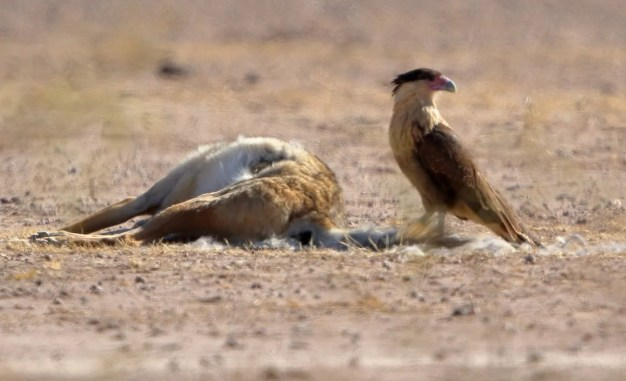 This Crested Caracara wasn't pinned down until the end of the season – despite earlier reports – as it scavenged dead animals in a field south of Rodeo. Photo © Steve Wolfe