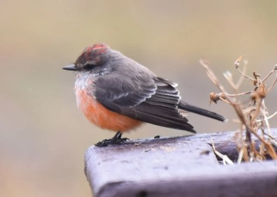 This Vermilion Flycatcher provided an exceptional first record for Newfoundland and Labrador. First found at Stephenville 18 Nov, it subsequently lingered through the fall. 18 Nov 2020. Photos © Kathy Marche.