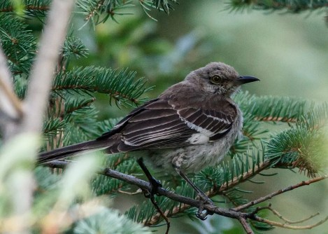 Northern Mockingbirds occasionally stray north of their usual range, but they have, until now, never established a solid foothold in the Prairie Provinces. This bird was at Canmore, Alberta 6–7 Sep 2020. Photo © Neil Denton.
