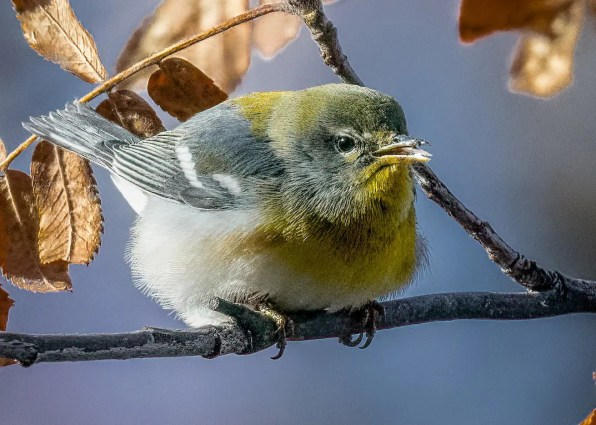 This Northern Parula at Edmonton, Alberta in late Oct 2020 was far west of its Canadian breeding range. Photo © Connor Bowhay.
