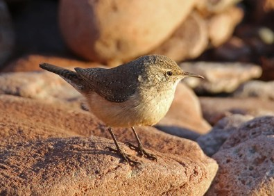 The Rock Wren discovered by Grant Milroy provided many individuals with excellent views of this exceptional first record for Prince Edward Island. 21 Nov 2020. Photo © Nicole Murtaugh.
