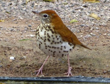 This Wood Thrush was present for several days in Nov in Radium Springs. Photo © Marcy Scott