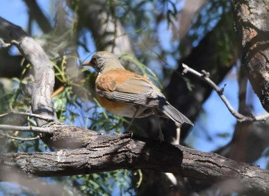 Somewhat surprising given the influx of the species in the Southerwestern U.S. this fall, this Rufous-backed Robin was the only report of the season. Photo © John Groves