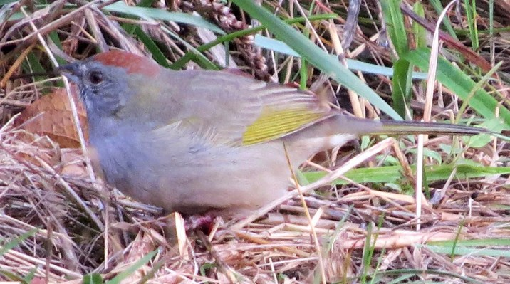 Casual to Nova Scotia, this Green-tailed Towhee photographed in the Italy Cross area 3 Nov had already been present for a number of days according to local residents. Photos © Phil Taylor.