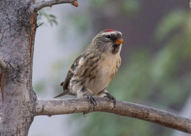 This Common Redpoll visited an Albuquerque feeder for three days in early Oct. It was a 5th record for the state, and was the earliest record by a month and a half. Photo © Owen Sinkus
