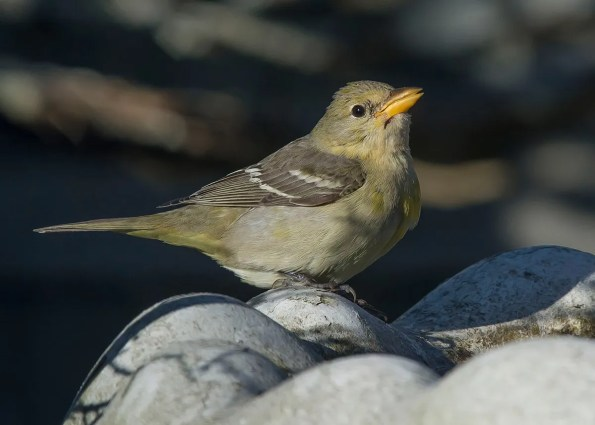One of three Western Tanager reported in Nova Scotia this fall was this individual located at West Pubnico 4 Nov 2020. Photo © Ronnie d'Entremont.