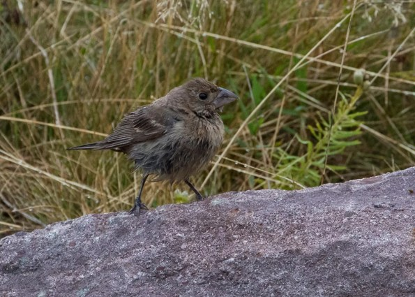 This Blue Grosbeak at Cape Spear was the lone individual of its species reported from insular Newfoundland in fall 2020. 2 Oct 2020. Photo © Bruce Mactavish.