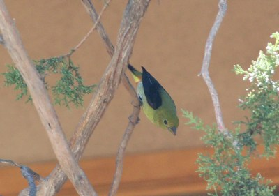 A male Scarlet Tanager visiting a yard in Silver City on 30 Oct. Photo © John Gorey