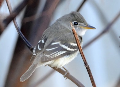 Atlantic Canada's first Gray Flycatcher was on Sable I., NS 11-20 Nov. Photo by Greg Stroud.