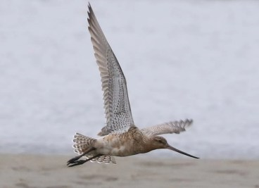 This Bar-tailed Godwit, an exceptional vagrant for NS, was photographed 31 May at Mavillette Beach P. P. Photo by © Mark Dennis.