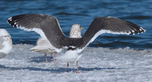 This Slaty-backed Gull was discovered 17 March at Quidi Vidi Lake, St. John's, NL, and lingered through 25 March. Photo by © Bruce Mactavish.
