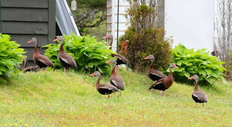 Black-bellied Whistling Duck is rare to NS, so these individuals visiting a home in Musquodoboit 10–22 June were quite unusual (here photographed 18 June). Photo by © David Bell.
