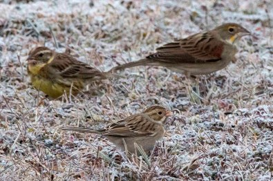 An exceptional first for NL, the Atlantic Region, and North America, this Yellow-breasted Bunting visited the feeders of Vernon Buckle in Forteau, Labrador, NL 16–18 Oct. Astonishingly, it arrived with another NL rarity—a Dickcissel. Photos by © Vernon Buckle.