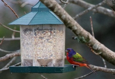This Painted Bunting was a visitor to feeders on Grand Manan Island, NB 18–29 Nov. Photo by © Jim Wilson.