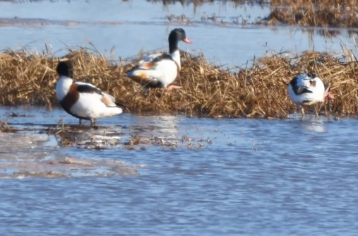 The three Common Shelducks continued in the marsh, here photographed 31 Dec. Photo by © Jim Russell.