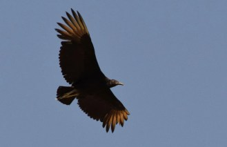 This Black Vulture seen leaving its roost at Rattlesnake Springs, Eddy County, 16 April 2017 furnished New Mexico's third confirmed record and the first for spring. Photo by © Michael Jon Thompson.