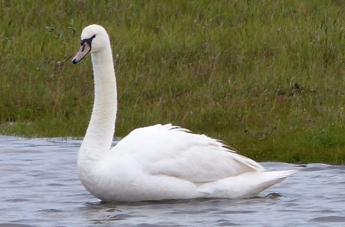 This Mute Swan was one of two photographed at Lake Duquet in Katimavik region 6 Aug., representing by far the northernmost seen in Canada. Photo by Stéphanie Lafrenière.