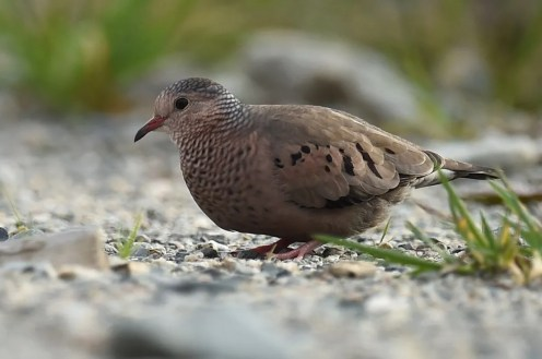 This Common Ground-Dove, seen and photographed on the site of a gold mine exploitation at Val d'Or (Abitibi) 21-26 Oct. (here 21 Oct.), provided a first record for the Region. Photo by Raymond Ladurantaye.