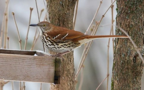 This Brown Thrasher present at Saint-Hyacinthe 19-28 Jan. (here 20 Jan.) was the only one of the season. Photo by © David Trescak.