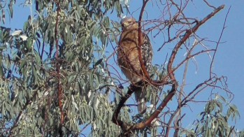 This Red-shouldered Hawk was a surprise in the Rio Grande bosque at Albuquerque, Bernalillo County, New Mexico 4 July 2017. Likely representing the western subspecies elegans, it provided only the second mid-summer state record. Photo by © Bernard L. Morris.
