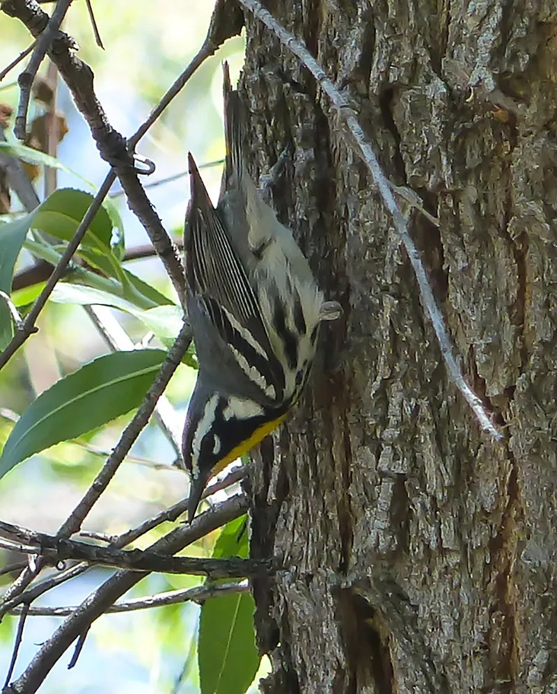 Rare in New Mexico, this Yellow-throated Warbler was far west at the Animas Valley's Clanton Cienega 13 May 2017 and provided a first record for Hidalgo County. Photo by © Narca Moore-Craig.