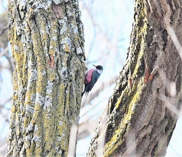 Lewis's Woodpecker has become more regular on the Plains in recent years. This one, Nebraska's most easterly, was discovered in Sarpy, Nebraska, 18 Dec. 2019 by Lauren Darnold and Amber Schiltz. It continued through 19 Jan. 2019, (here 20 Dec). Photo by © Steve Kruse.