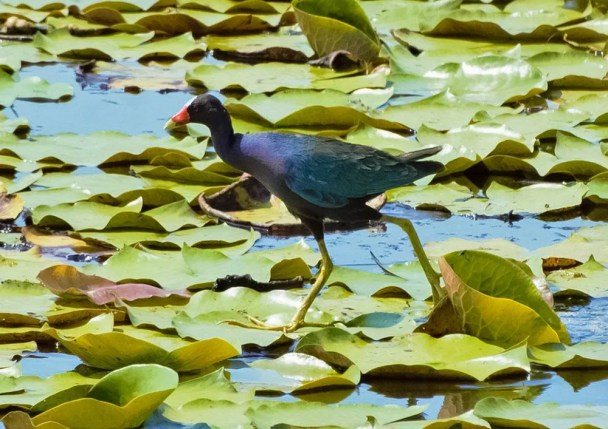 Eufaula NWR, Barbour, has seen an increase in nesting marsh birds in recent years. This year up to 27 Purple Gallinules were counted (seen here 5 July 2019) setting a new summer high count for the species in Alabama. Photograph by Andrew Lydeard.