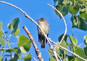 Casual in New Mexico west to the Rio Grande Valley, this singing Eastern Wood-Pewee in the bosque at Albuquerque 9 June 2017 provided a Bernalillo County first. Originally found on the east bank of the river 7-9 June, it was subsequently discovered across the river on the west side, where it persisted 2-19 July 2017. Photo by © Jerry R. Oldenettel.