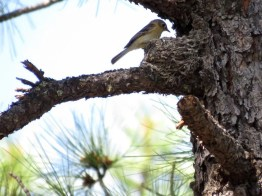 This Buff-breasted Flycatcher was tending nestlings in the Burro Mountains, Grant County, New Mexico 10 June 2017. The species was rediscovered in those mountains only in 2016, after having been absent as a summering species there since 1876. Photo by © Jarrod B. Swackhamer.