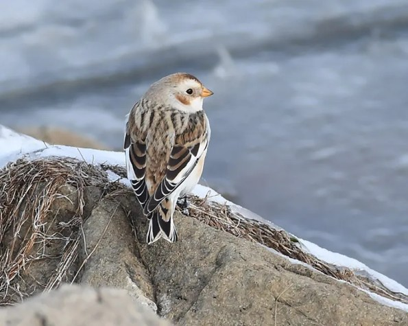 This Snow Bunting was seen by many at Stubblefield Lake, Colfax County, New Mexico 8-30 (here 10) December 2016. All four of the state's records have been from along the eastern base of the Sangre de Cristo Mountains. Photo by © Nancy E. Hetrick.