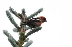 White-winged Crossbill is irregular in occurrence in New Mexico; this male was in the Sangre de Cristo Mountains north of Red River, Taos County 15 July 2017. Photo by © Robert E. Friedrichs.