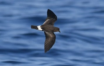 This Band-rumped Storm-Petrel was one of 17 observed on a See Life Paulagics trip out of Brooklyn, NY on 22 July 2019. It was found at 39.084084N 71.71376W, about 140 miles se. of New York City,at a water temperature between 80.2º and 81ºF. This species was hardly known in this region until recent years, when warm waters far offshore began to be explored in summer. Photo by © Sean Sime.