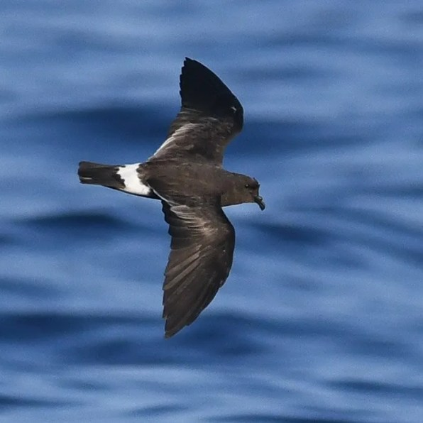 This Band-rumped Storm-Petrel was one of 17 observed on a See Life Paulagics trip out of Brooklyn, NY on 22 July 2019. It was found at 39.084084N 71.71376W, about 140 miles se. of New York City, at a water temperature between 80.2º and 81ºF. This species was hardly known in this region until recent years, when warm waters far offshore began to be explored in summer. Photo by © Sean Sime.