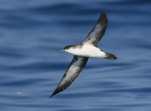 Sean Sime photographed this Audubon's Shearwater on 22 July 2019 at 39.076646N 71.700325W, about 140 miles se. of New York City, at a water temperature between 80.2º and 81ºF. It was one of two seen that day. The species is probably regular in summer in these waters. Note the black undertail coverts and relatively short wings.Photo by © Sean Sime.