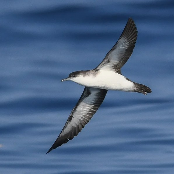 Sean Sime photographed this Audubon's Shearwater on 22 July 2019 at 39.076646N 71.700325W, about 140 miles se. of New York City, at a water temperature between 80.2º and 81ºF.  It was one of two seen that day. The species is probably regular in summer in these waters. Note the black undertail coverts and relatively short wings. Photo by © Sean Sime.