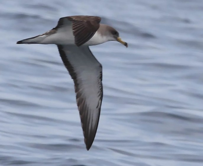 "A Scopoli's Cory's Shearwater discovered 4 Jul southeast of Grand Manan I., NB, demonstrates the C. d. diomedea ""finger like"" white underwing pattern extending to the primaries. Photo by © Hank Scarth."