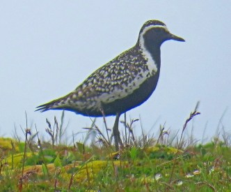 Rare to N. F., this Pacific Golden-Plover discovered 16 Jul at Cape St. Mary's was a great find. Photo by © Mark Amershek.