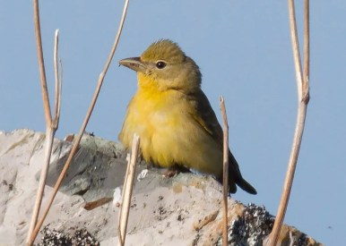 This Summer Tanager lingered into the season at Portugal Cove South, Avalon Pen., NL. Photo by © Bruce Mactavish.