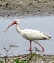 Most White Ibis records in Tennessee have involved immature birds, so this adult at Mud Lake, Lake on May 23 was a surprise. Photo © Mark Greene.
