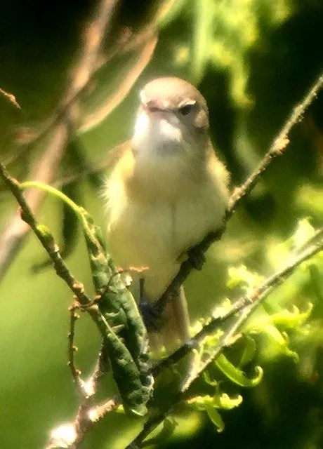 Although several breeding colonies are present in neighboring Kentucky, the only known breeding colony of Bell's Vireos in Tennessee are at Fort Campbell in Stewart and Montgomery counties. Thus, this singing individual in Lake on May 25 was a surprise. Photo © Mark Greene.