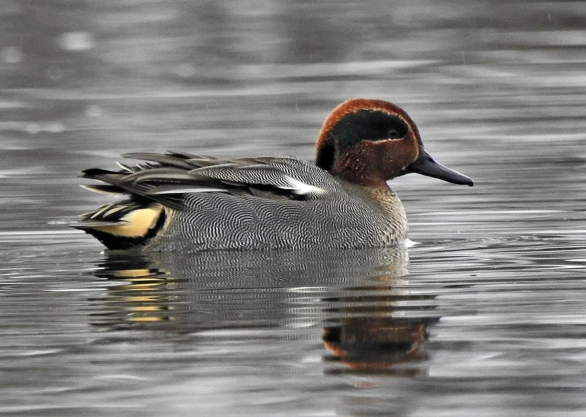 Present on and off during the winter with three of its American counterparts, this Eurasian Green-winged Teal, photographed here on 4 Jan 2021, was seen by many birders at a reservoir in Toronto, Ontario. Photo © Riley Walsh.
