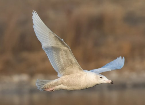 Numerous Glaucous Gull sightings were noted this season, including this one along the South Platte River in Adams Co, Colorado on 9 Feb 2021. Photo © Adam Vesely.