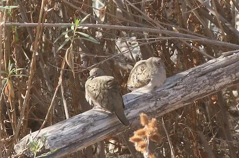An influx of Ruddy Ground Doves was evident across southwestern New Mexico this season. Up to five were seen along the Gila River in Cliff, Grant County in December 2020, here photographed 7 December. Photo © John Gorey.