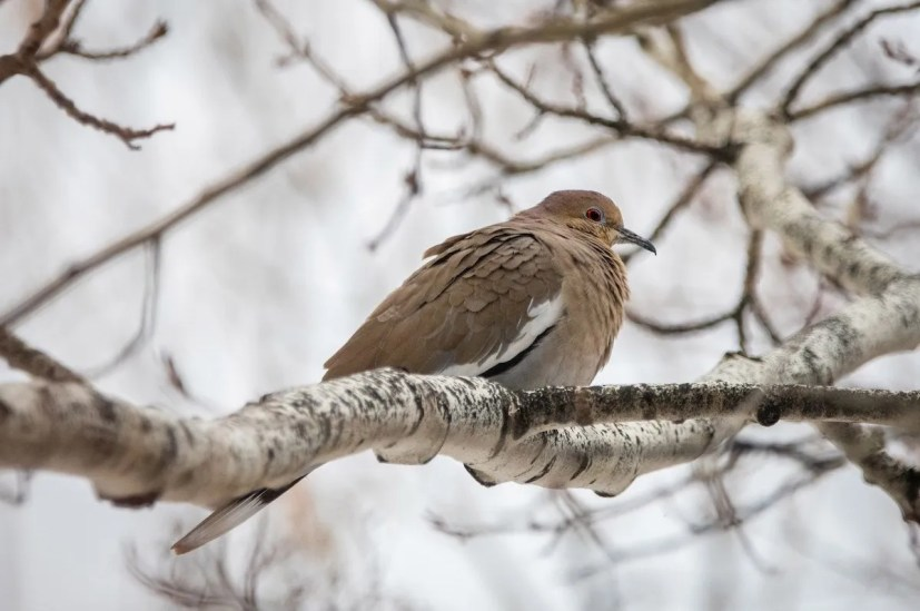 Prior to becoming a meal for a Sharp-shinned Hawk, a White-winged Dove attracted many observers in Bozeman, Gallatin Co, Montana 16 Nov 2020–16 Jan 2021. 19 Dec 2020. Photo © Sam Koenen.