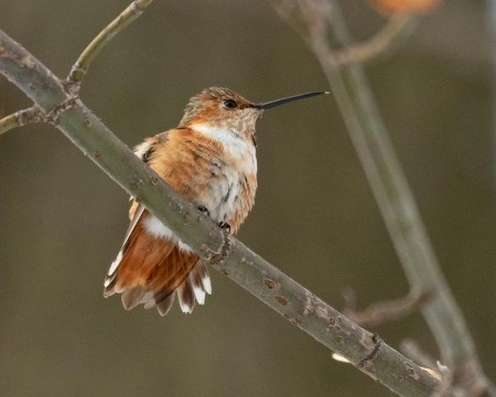 This Allen's Hummingbird, a first record for Wisconsin and the Western Great Lakes region, appeared at a feeder in New Glarus, Green Co before Thanksgiving and was banded and photographed on 17 Dec 2020. It stayed until 25 Dec 2020. Photo © Cynthia Bridge.