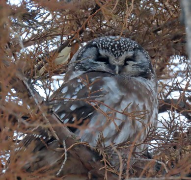 Rarely seen, especially in Douglas County, this very photogenic Boreal Owl was found in Louviers, Douglas Co 2–30 Jan, photographed here on 30 Jan 2021. Photo © Katherine Holland.