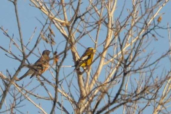 Once regular in Texas, Evening Grosbeak was added to the Texas Review List in September 2008. This bird was photographed at White River Lake, Crosby Co, TX on 02 Jan 2021. Photo © Phillip Kite.
